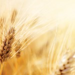 wheat_shutterstock_rgb